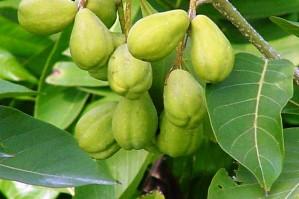 Amalaki - fruit therapeutique
